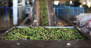 قطاعا الزيتون و الحوامض يحققان ارتفاعا قياسيا في الإنتاج