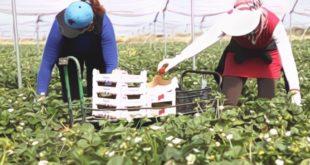 """لجنة مغربية للتحضير لعملية التشغيل 2019 بمزارع الفراولة ب""""ويلبا """" الاسبانية"""