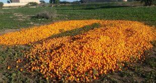 قيوح : إتلاف 20 الف طن من البرتقال بمنطقة سوس