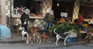 الكلاب الضالة تهدد سلامة ساكنة حي المسيرة الأولى بمراكش